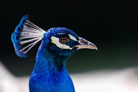 Photo pour Amazing portrait of a peacock with a beautiful color - image libre de droit