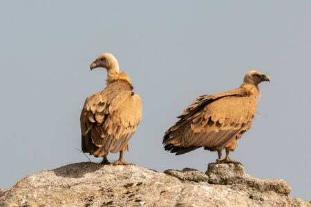 Photo pour Vultures on a big rock with the cloudy sky in the background - image libre de droit