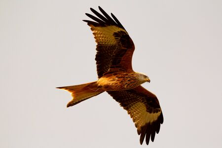 Photo for Awesome bird of prey in flight with the sky of background - Royalty Free Image