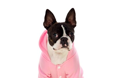 Photo pour Boston terrier wearing a pink coat isolated on a white background - image libre de droit
