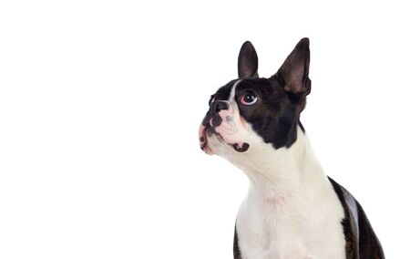 Photo pour Portrait in Studio of a cute boston terrier isolated on a white background - image libre de droit