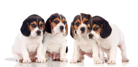Photo for Adorable puppies isolated on a white background - Royalty Free Image