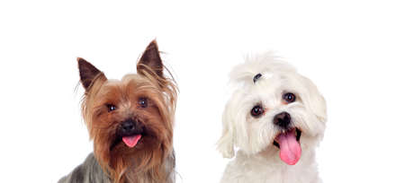 Photo pour Two small dogs isolated on a white background - image libre de droit