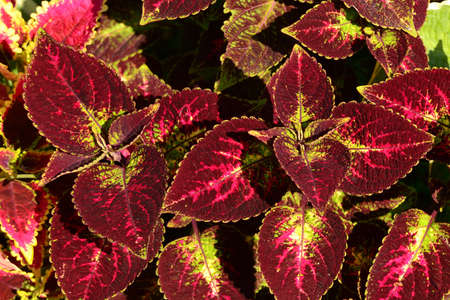 Photo pour Close-up of an ornamental garden plant Coleus solenostemon hybrida in a red-burgundy color for any decoration and design. - image libre de droit