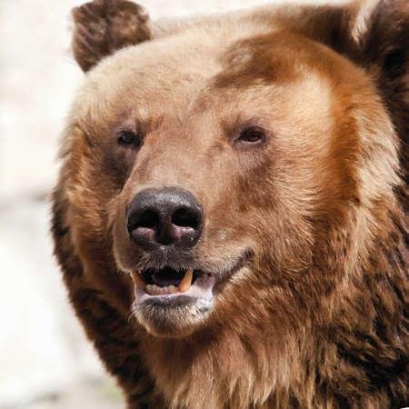 Brown bear.  Ursus arctos. Portrait. Close up