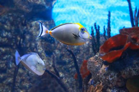 Photo pour Naso lituratus - barcheek unicornfish - saltwater fish - image libre de droit