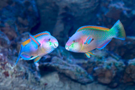Photo for Colorful Daisy parrotfish (Chlorurus sordidus) on the tropical coral reef. Two males during the marriage period - Royalty Free Image