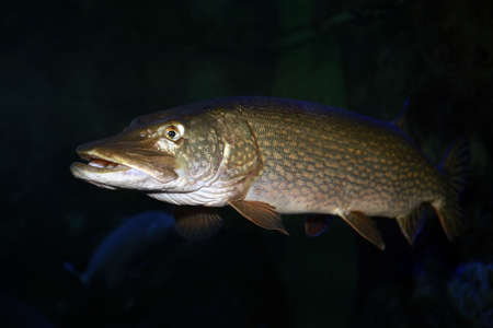 Photo pour Freshwater fish pike perch (Sander lucioperca) in the aquarium - image libre de droit