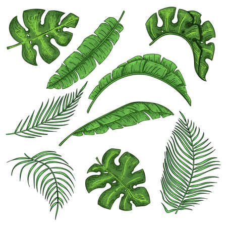 Illustration pour Tropical palm leaves set, jungle banana leaf collection - image libre de droit