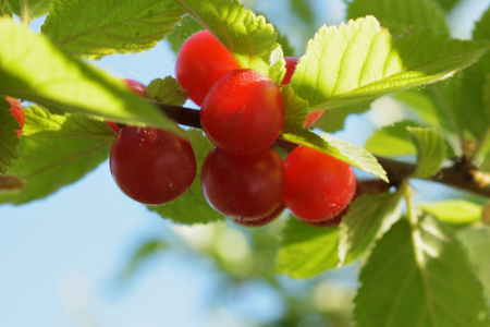 Ripening red berries of Chinese cherries on a branch among the leaves