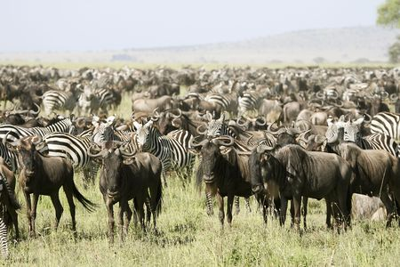 Migration of wildebeest (Connochaetes taurinus) in Serengeti National Park, Tanzania