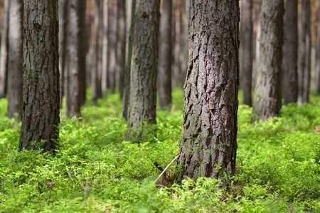 Foto de Pine forest in sunny day  Pine trunks  Pinus sylvestris  and bilberry in warm light  Spring time  - Imagen libre de derechos