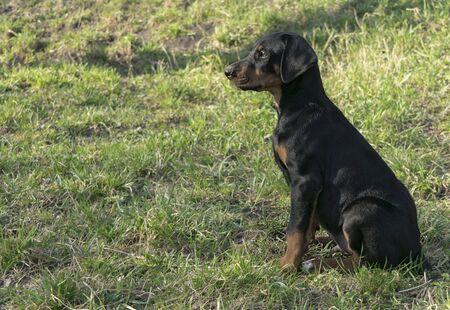 Portrait Doberman puppy dog on a background of green bushes