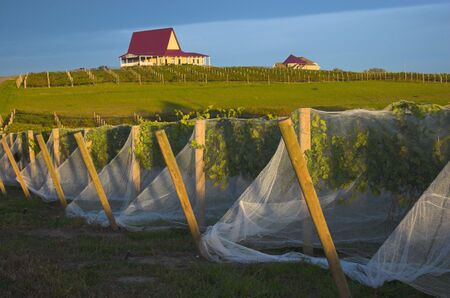 Vineyard with vines covered with bird-protective net and winery buildings on the background.