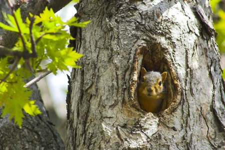 Squirrel sitting in its nest, the hole in the tree.