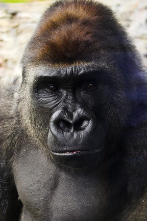 Portrait of gorilla's face in close-up range at the zoo