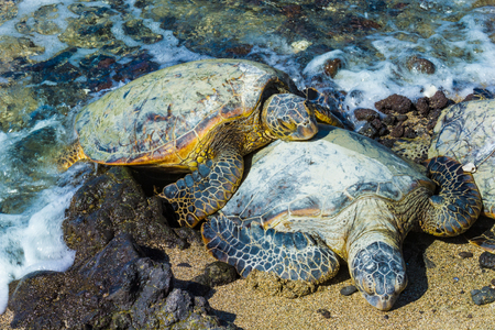 Photo pour Close-up of the green sea turtles  on the rocky volcanic beach in Hawaii - image libre de droit
