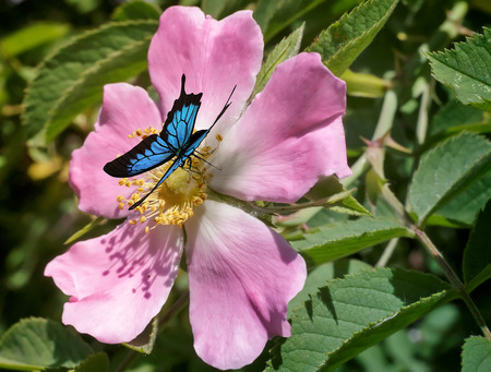 Photo pour Beautiful butterfly with blue pattern on the wings sitting on a pink flower wild rose that blooms among the leaves so green. - image libre de droit