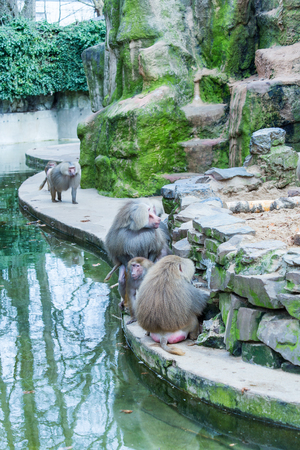 A large group of baboons monkeys feeding in the zoo in Cologne