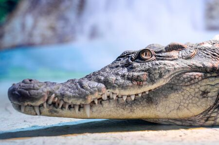 Photo pour big crocodile head with toothy mouth and green eye close up - image libre de droit