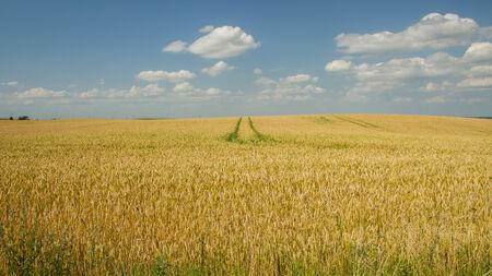 bun wheat field panorama