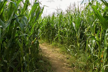 Trail corn field