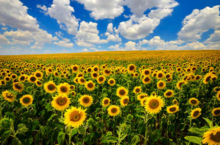 Photo pour field of blooming sunflowers on a background of blue sky - image libre de droit