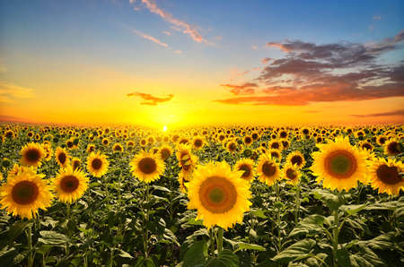 Photo pour field of blooming sunflowers on a background sunset - image libre de droit