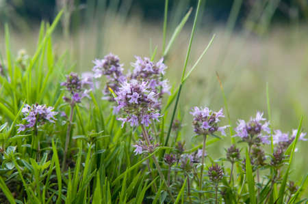 This summer flower is a thyme  Thyme is any of several species of culinary and medicinal herbs of the genus Thymus, most commonly Thymus vulgaris