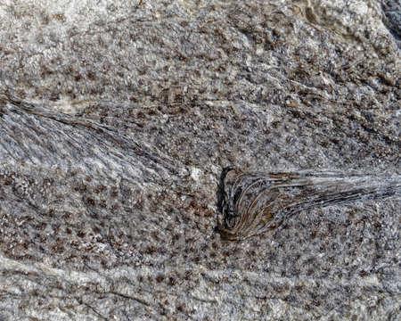 Photo pour Sun-dried salted codfish, Newfoundland and Labrador, Canada. - image libre de droit