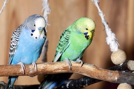 Pair of blue budgerigars