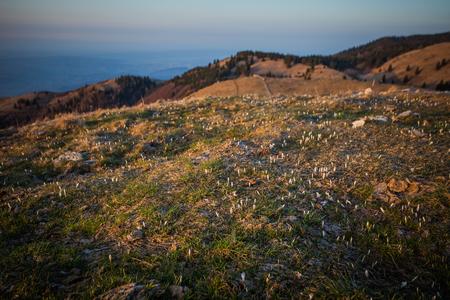 Daylight illuminating a meadow full of crocus flowers, Pian de le Femene, Veneto, Italy