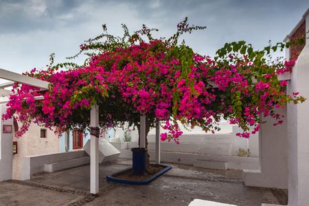Photo pour Bougainvillea in bloom in the center of Oia, Santorini, Greece - image libre de droit