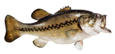 Photo pour Beautifully taxidermied largemouth bass. Isolated. - image libre de droit