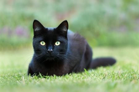 Foto de Close up of a black cat lying on grass in the garden, UK. - Imagen libre de derechos