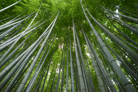 Beautiful bamboo park in kyoto with long green trees