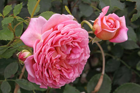 The Harlow Carr is a shrub rose that can make a good hedge and has a lovely fragrence.