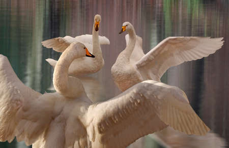 Three Whooper Swans perform elegantly, giving a display worthy of any stage