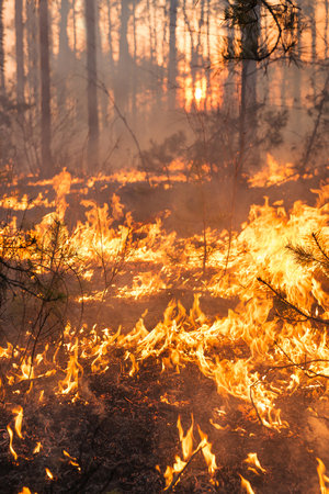 Forest fire on sunset background. Whole area covered by flame