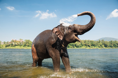 Photo pour Elephant washing on southern banks of the periyar river at Kodanad training center - image libre de droit