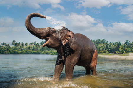Photo pour Elephant washing and splashing water through the trunk in the river - image libre de droit