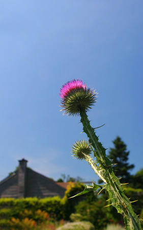 Thistle in a garden with a house in the background.