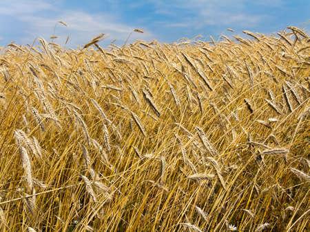 A mature barley field in summer