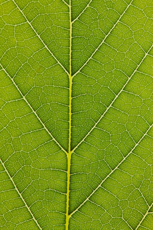 The veins of a leaf in a green expanse of close-up