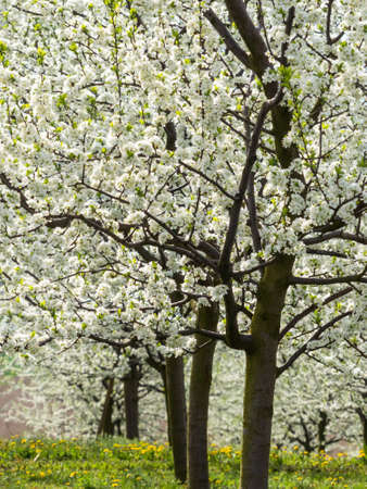 many flowering fruit trees in the spring  tree flowering in the spring is a beautiful season