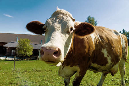 dairy cow on a summer pasture, symbolic photo for milk production and organic farming