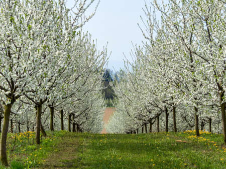 Foto de many flowering fruit trees in spring. tree bloomed in the spring is a beautiful time of year. - Imagen libre de derechos