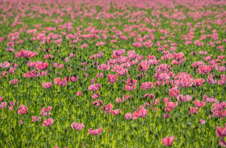 poppy field with poppies in summer