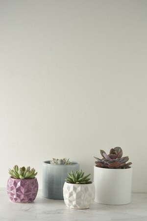 Photo for Succulent plant. A group of echeverias on white table. Copy space. - Royalty Free Image