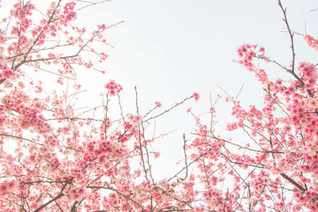 Photo pour Cherry blossom flower in blooming with branch isolated on white background for spring season. - image libre de droit